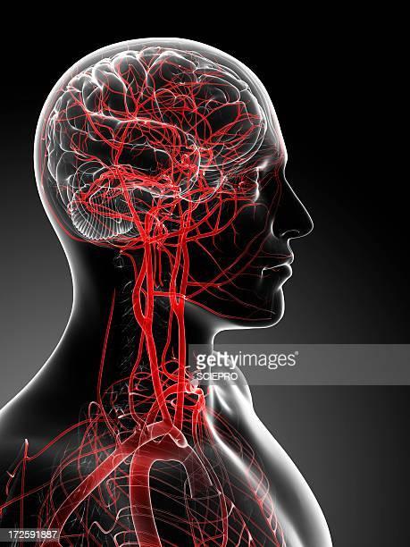 Brain's blood supply, artwork