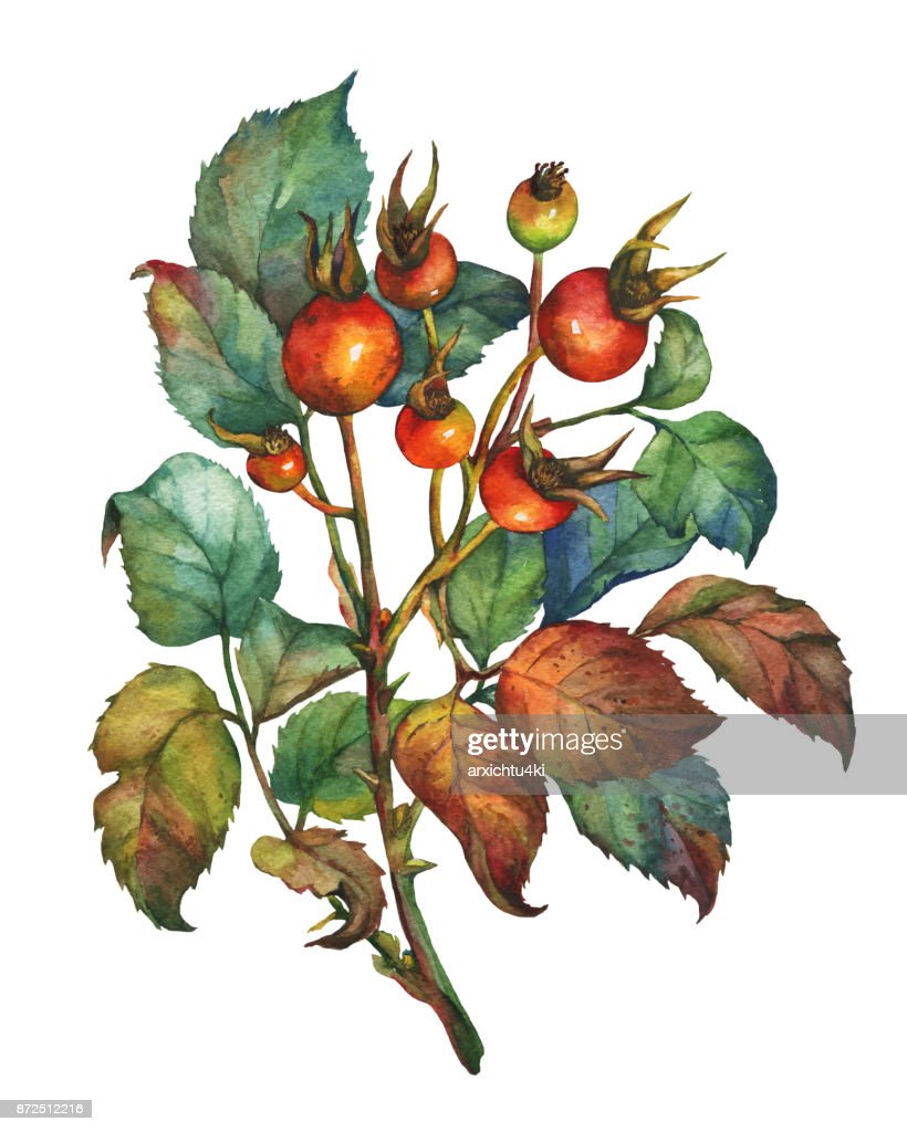 A Branch Of Dog Rose With Red Berries And Green Leaves Hand Drawn