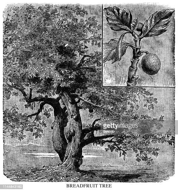 breadfruit tree - tropical tree stock illustrations