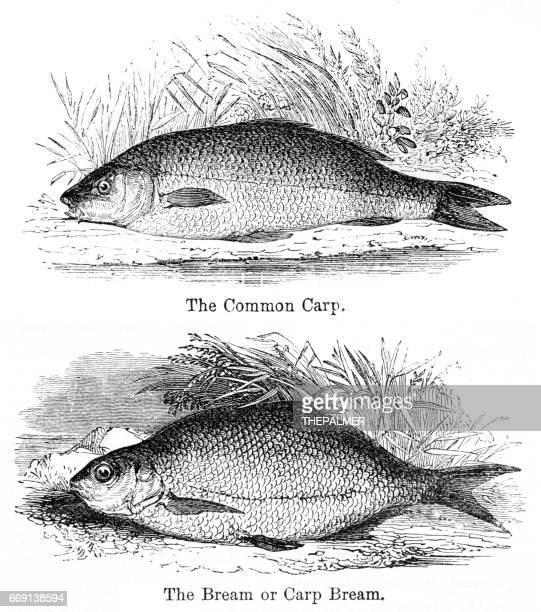 illustrations, cliparts, dessins animés et icônes de brèmes et carpes gravure 1878 - carpe