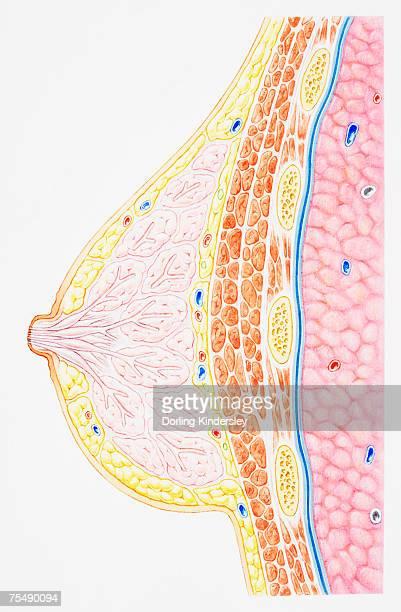 ilustraciones, imágenes clip art, dibujos animados e iconos de stock de breast showing rib, pectoral muscle, lung, fatty tissue, blood vessel, lobule, ampulla, nipple, areola and milk duct, cross-section - lactancia materna