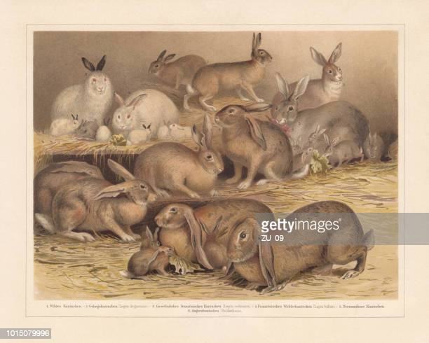 ilustraciones, imágenes clip art, dibujos animados e iconos de stock de razas de conejos domésticos, cromolitografía, publicados en 1897 - grupo grande de animales