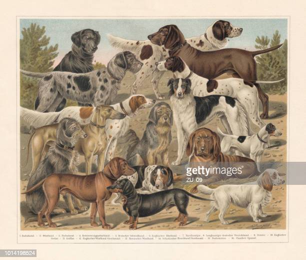 breeds of hunting dogs, chromolithograph, published in 1897 - german short haired pointer stock illustrations