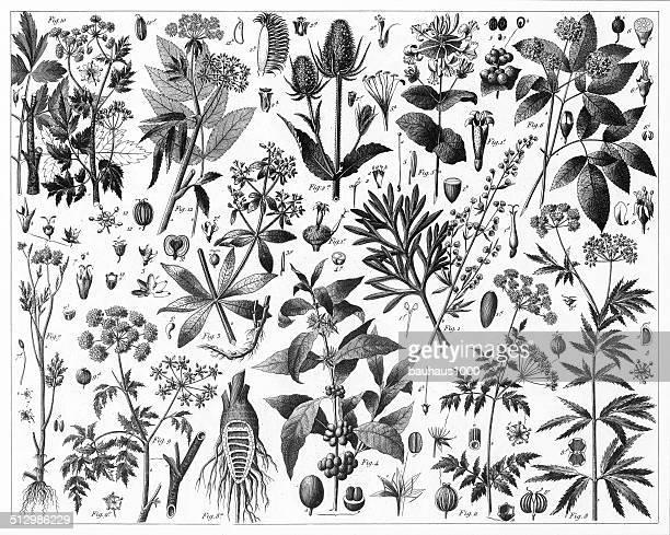 brewed tea plants - thistle stock illustrations, clip art, cartoons, & icons