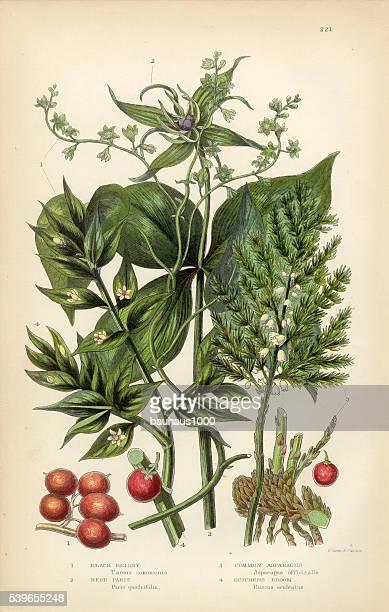 briony, black briony, asparagus, butchers broom victorian botanical illustration - asparagus stock illustrations, clip art, cartoons, & icons