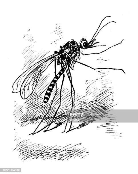 British London satire caricatures comics cartoon illustrations: Mosquito