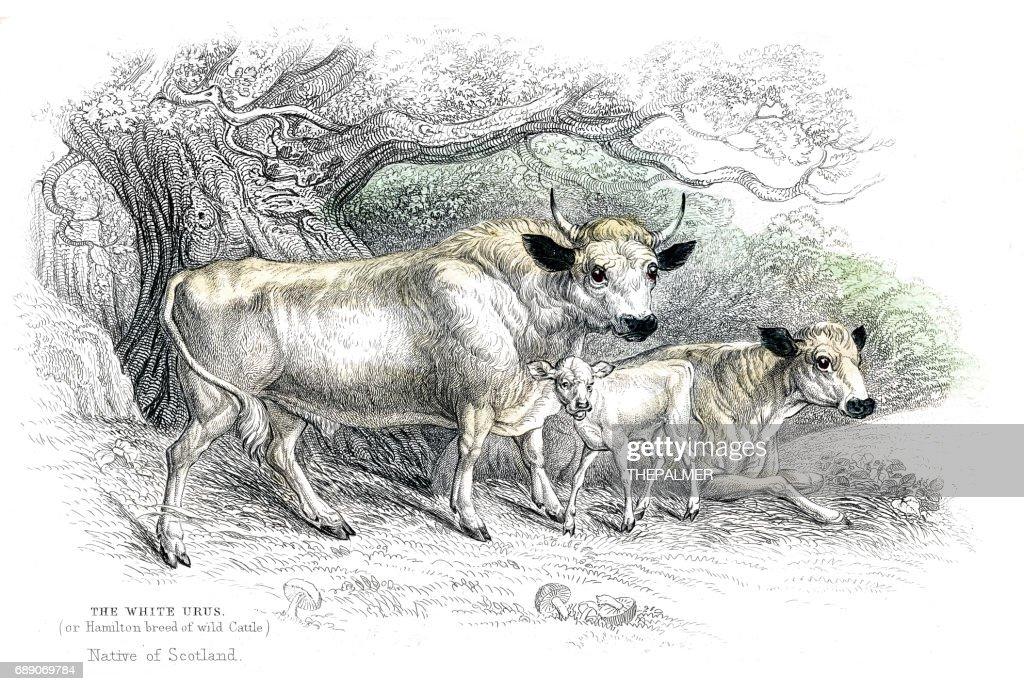 British wild cattle lithograph 1884 : Stock Illustration