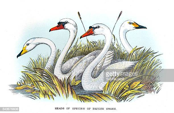 Britsih swan illustration 1896