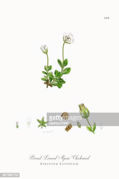 ilustrações, clipart, desenhos animados e ícones de broad-leaved chickweed alpino, cerastium latifolium, ilustração botânica vitoriana, 1863 - chickweed