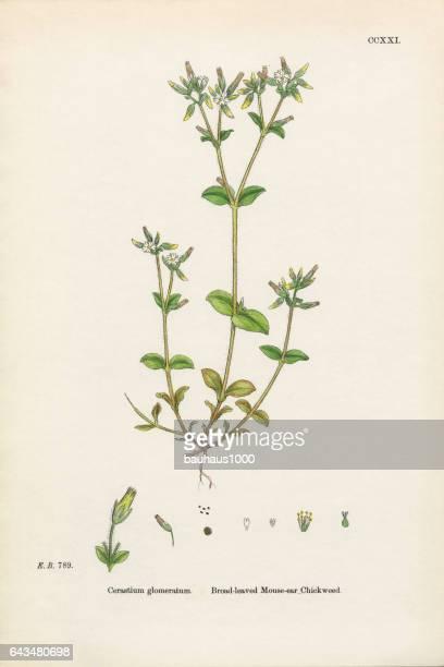 ilustrações, clipart, desenhos animados e ícones de broad-leaved mouse – orelha chickweed, cerastium glomeratum, ilustração botânica vitoriana, 1863 - chickweed