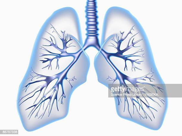 bronchial tree - lung stock illustrations