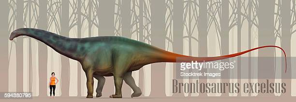 Brontosaurus excelsus size compatison to an adult woman.