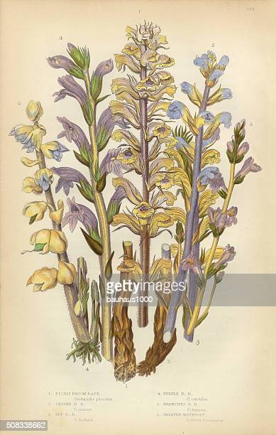 broomrape, clove, orobanche, red broomrape, toothwort, victorian botanical illustration - perennial stock illustrations, clip art, cartoons, & icons