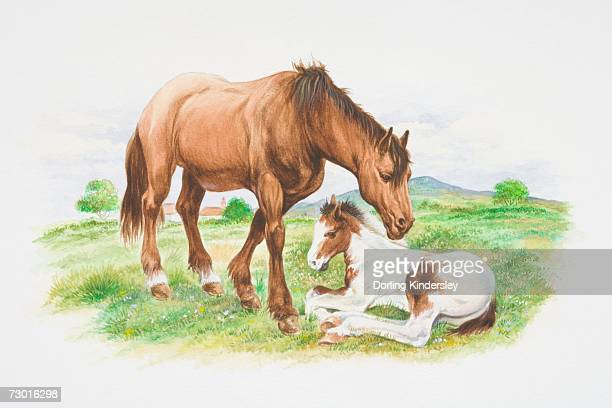 Brown horse (Equus caballus) standing next to white-brown foal lying in grass.