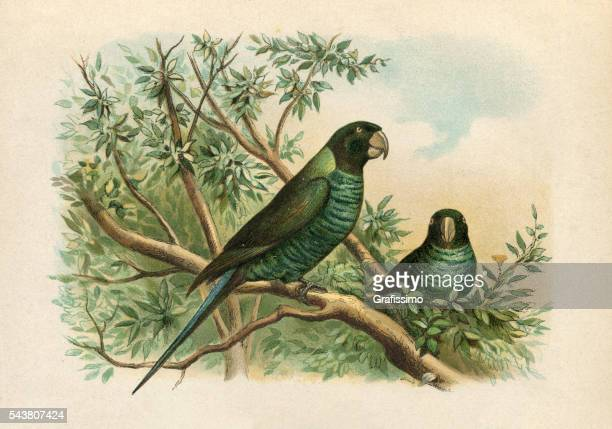 budgerigar parrot in rainforest engraving 1880 - parrot stock illustrations, clip art, cartoons, & icons