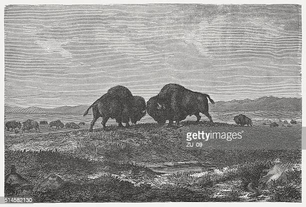 buffalo herd on the prairie, wod engraving, published in 1880 - prairie stock illustrations, clip art, cartoons, & icons