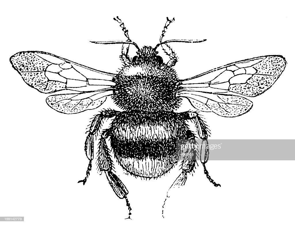 Buff-Tailed Bumblebee (Bombus Terrestris) : stock illustration