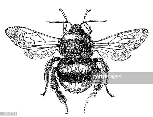 buff-tailed bumblebee (bombus terrestris) - bumblebee stock illustrations, clip art, cartoons, & icons