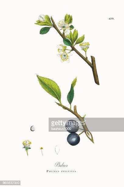 Bulace, Prunus insititia, Victorian Botanical Illustration, 1863