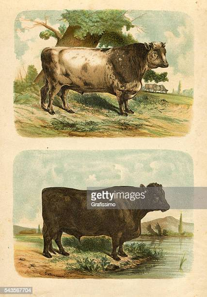 Bull cow cattle engraving 1880