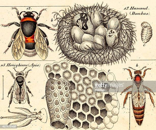 bumble bees, 19 century science illustration - bumblebee stock illustrations, clip art, cartoons, & icons