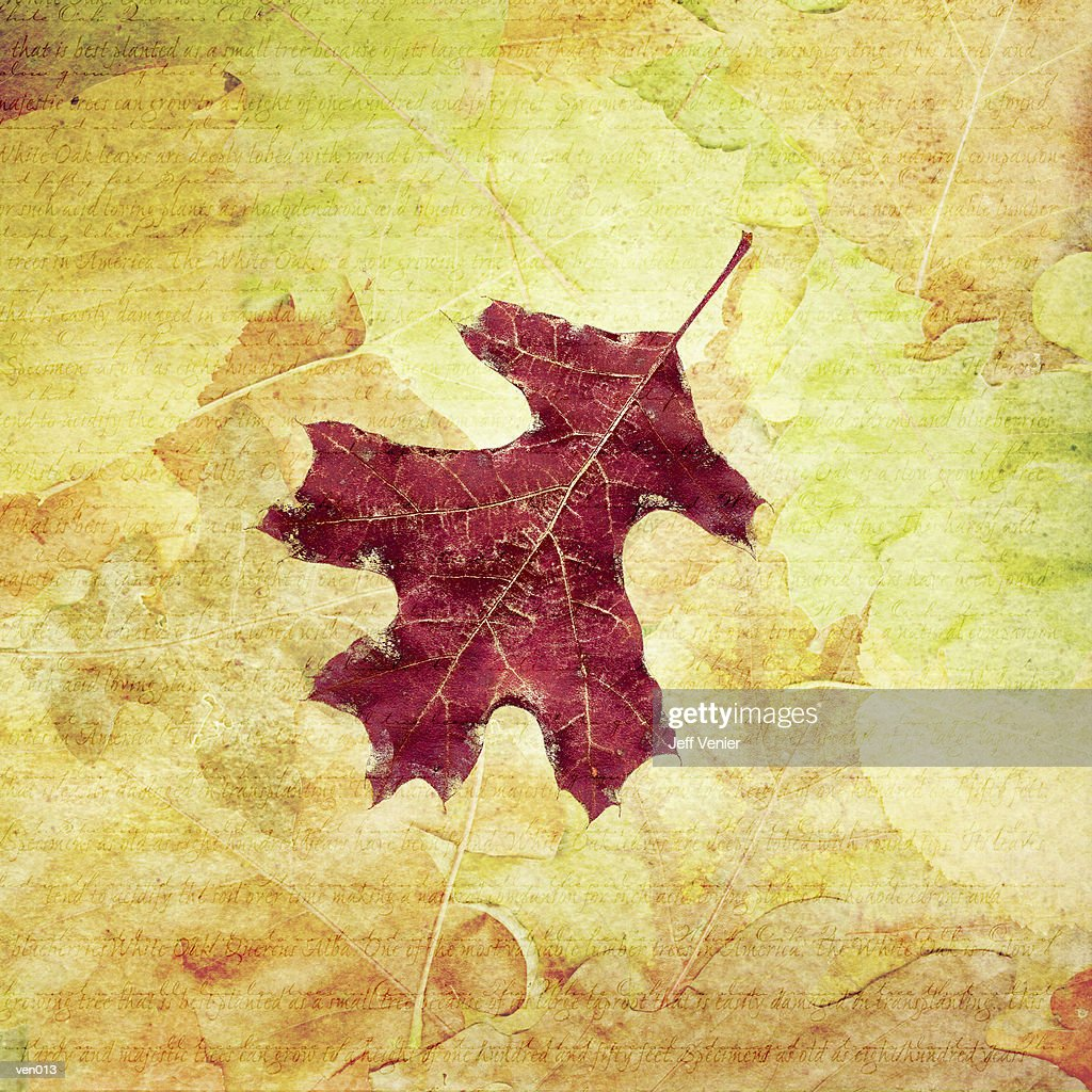 Burgundy Oak Leaf : Stock Illustration