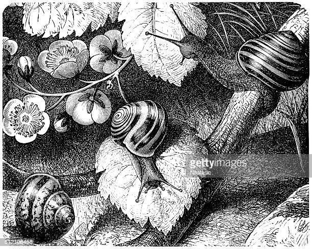 ilustrações de stock, clip art, desenhos animados e ícones de borgonha caracol ou caracol (helix pomatia - caracol de jardim