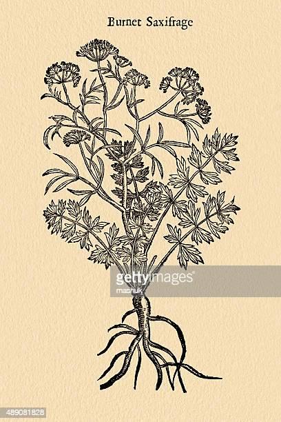 Burnet  Saxifraga plant, 17 century botanical illustration