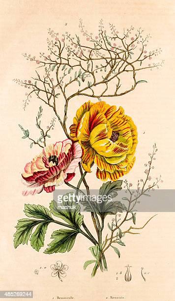 ilustraciones, imágenes clip art, dibujos animados e iconos de stock de buttercups y polígono botánico de medio siglo, 19 - ranunculus