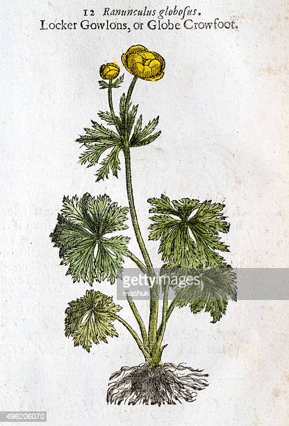 buttercups flower handcolored illustration by gerard 1633 - buttercup stock illustrations, clip art, cartoons, & icons