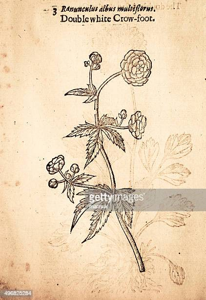 buttercups flower handcolored illustration by gerard 1633 - ranunculus stock illustrations, clip art, cartoons, & icons