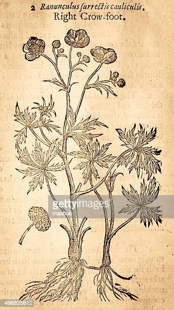 ilustraciones, imágenes clip art, dibujos animados e iconos de stock de ilustraciones de flor ranúnculo buttercups handcolored por gerard 1633 - ranunculus