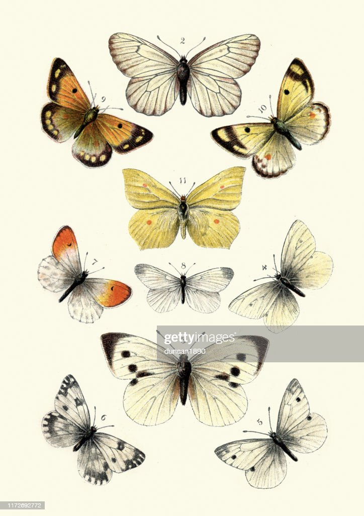 Butterflies, Black veined white butterfly, Brimstone, Large white : stock illustration