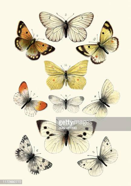 butterflies, black veined white butterfly, brimstone, large white - lithograph stock illustrations