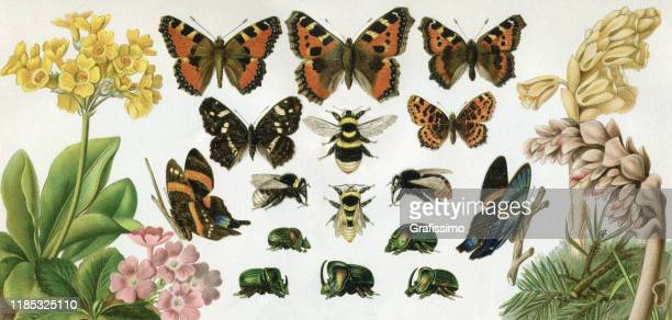 butterfly and carpenter bee beetle 1897 - antique stock illustrations