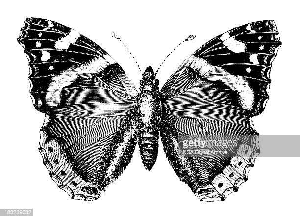 schmetterling/alte tierische illustrationen - schwarzweiß bild stock-grafiken, -clipart, -cartoons und -symbole