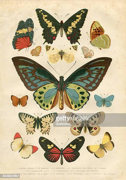 butterfly papilio nymphalidae illustration 1881 - antique stock illustrations