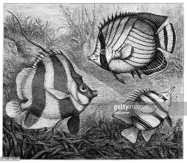 butterflyfish 1873 - butterflyfish stock illustrations, clip art, cartoons, & icons