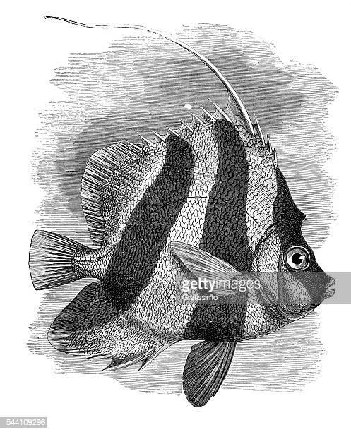 butterflyfish bannerfish heniochus engraving 1881 - butterflyfish stock illustrations, clip art, cartoons, & icons
