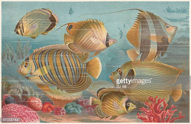 butterflyfishes in a coral reef, lithograph, published in 1884 - butterflyfish stock illustrations, clip art, cartoons, & icons