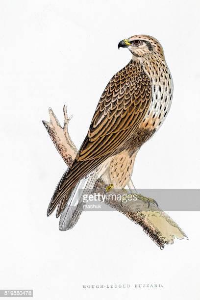 Pássaro-augur ilustração do século 19