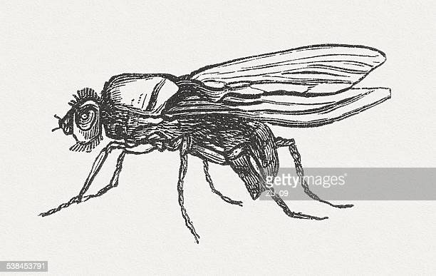 Cabbage fly (Delia radicum, female), wood engraving, published in 1882