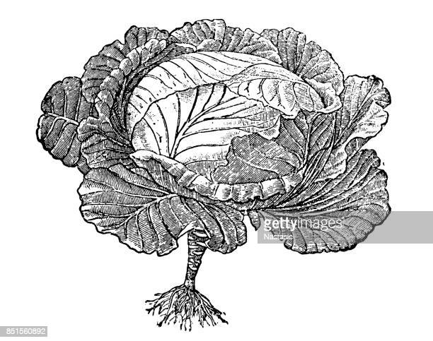 cabbage in first year - savoy cabbage stock illustrations, clip art, cartoons, & icons