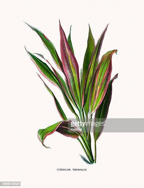 illustrations, cliparts, dessins animés et icônes de cabbage palm house plant - plante verte