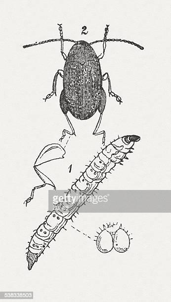 フリー甲虫