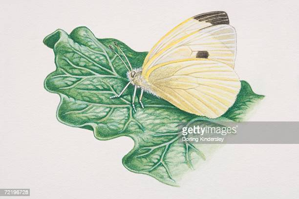 Cabbage White butterfly (pieris rapae) perched on plant leaf, side view.