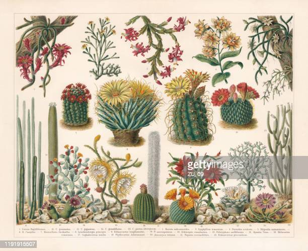 cacti, chromolithograph, published in 1900 - chromolithograph stock illustrations