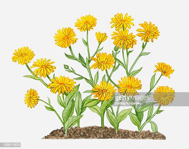 calendula arvensis (field marigold) with yellow flowers and green leaves on long stems - ranunculus stock illustrations, clip art, cartoons, & icons