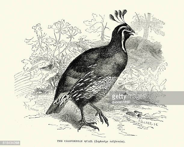 california quail (callipepla californica) - quail bird stock illustrations, clip art, cartoons, & icons