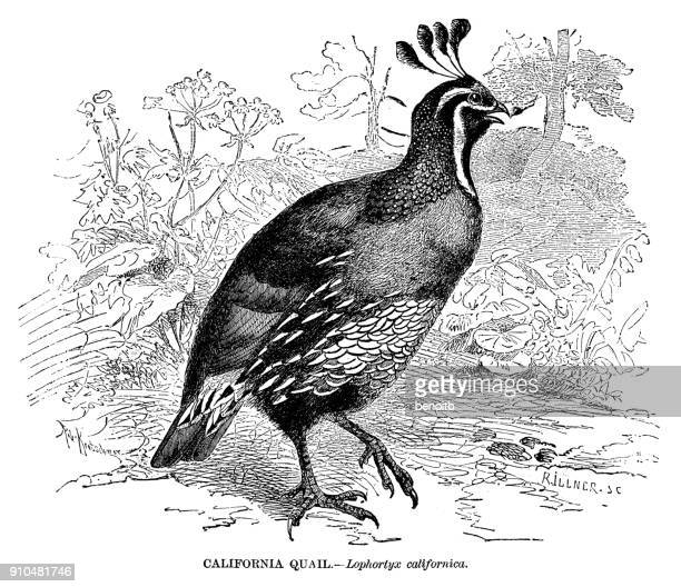 california quail - quail bird stock illustrations, clip art, cartoons, & icons